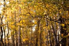 Foglie gialle nella foresta di autunno nel giorno soleggiato immagini stock libere da diritti