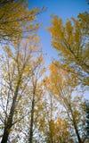 Foglie gialle soleggiate delle foglie di autunno Immagini Stock Libere da Diritti