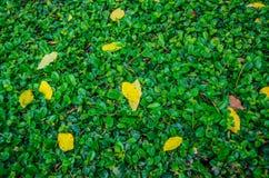 Foglie gialle su fondo verde Immagini Stock Libere da Diritti