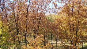Foglie gialle sugli alberi nel parco di autunno video d archivio