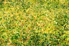 Foglie giallo verde della pianta della soia Fotografia Stock Libera da Diritti