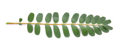 Foglie grandiflora di Sesbania su fondo bianco Fotografie Stock Libere da Diritti