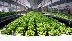 Foglie idroponiche dell'insalata Immagine Stock Libera da Diritti