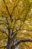 Foglie ingiallite su un albero gigante immagine stock libera da diritti
