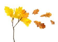 Foglie isolate della quercia gialla di autunno Fotografia Stock