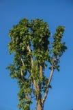 Foglie isolate sui precedenti del cielo blu Fotografia Stock Libera da Diritti