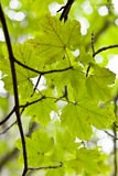 Foglie. Leaves of a tree in the Etna Mount Royalty Free Stock Photo