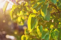 Foglie lilla alla luce solare con i punti culminanti, estate immagine stock