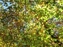 Foglie luminose del corniolo Fotografie Stock Libere da Diritti