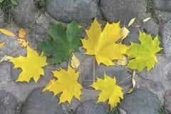 Foglie luminose dell'acero nel parco della città di autunno immagine stock