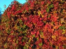 Foglie luminose dell'uva rossa che trascurano il wal immagini stock