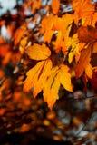 Foglie luminose di rosso in autunno Fotografia Stock Libera da Diritti