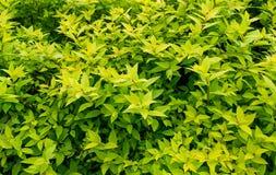 Foglie lunghe verde chiaro dense Spirea del cespuglio del fondo Fotografia Stock