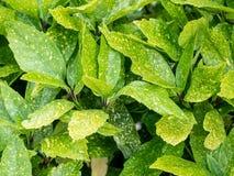 Foglie macchiate di Laurel Plant Leaves Aucuba Japonica ** nota: SH Immagini Stock