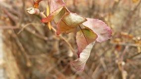 Foglie marroni di autunno nei rami di albero stock footage