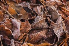 Foglie marroni e gialle cadute nel gelo Immagini Stock