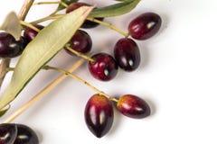 Foglie mature della foglia matura delle olive isolate nel bianco fotografie stock