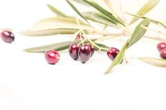 Foglie mature della foglia matura delle olive nel fondo bianco Immagini Stock