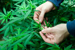 Foglie mediche della marijuana Fotografia Stock Libera da Diritti