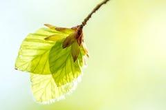 Foglie molli della betulla Fotografia Stock Libera da Diritti