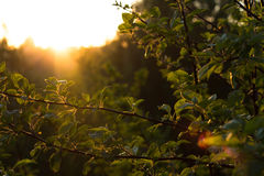 Foglie negli alberi nel sole di estate Fotografia Stock