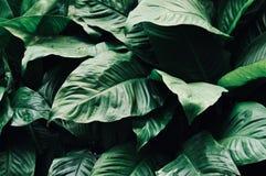 Foglie nel giardino, fondo fresco delle foglie verdi alla luce solare del giardino Struttura delle foglie verdi, foglia della fel Fotografia Stock Libera da Diritti