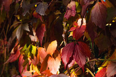 Foglie nella caduta, fondo dell'uva Immagine Stock Libera da Diritti