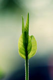 Foglie neonate della pianta del gelsomino Fotografia Stock