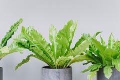 Foglie ondulate verdi nel vaso per la decorazione della casa immagini stock