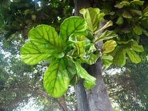 Foglie peruviane dell'albero Fotografia Stock Libera da Diritti