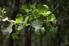 Foglie popolari dell'albero Immagine Stock Libera da Diritti