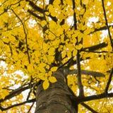 Foglie retroilluminate su un albero in autunno Immagine Stock