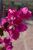Foglie rosa Fotografia Stock Libera da Diritti