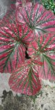 Foglie rosa verdi fotografie stock libere da diritti
