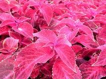 Foglie rosse decorative Immagine Stock Libera da Diritti