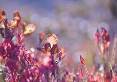 Foglie rosse del mirtillo Fotografia Stock Libera da Diritti
