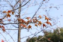 Foglie rosse dell'inverno Fotografia Stock Libera da Diritti