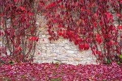 Foglie rosse dell'uva decorativa sulla parete Fotografia Stock