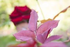 Foglie rosse delle rose Fotografia Stock