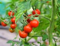 Foglie rosse di agricoltura di crescita del pomodoro Fotografia Stock Libera da Diritti