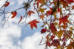 Foglie rosse di caduta o di autunno con spazio per testo Fotografie Stock