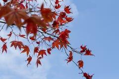 Foglie rosse di caduta o di autunno con spazio per testo Fotografia Stock Libera da Diritti