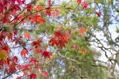 Foglie rosse di caduta o di autunno con spazio per testo Fotografia Stock