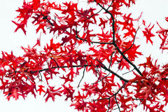 Foglie rosse di caduta su fondo bianco Fotografia Stock