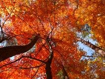 Foglie rosse di caduta sulla vista ascendente degli alberi Immagini Stock