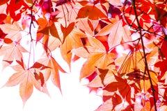 Foglie rosse di giallo Fotografia Stock