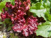 Foglie rosse di lattuga che crescono su un letto in giardino Immagini Stock Libere da Diritti
