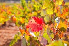 Foglie rosse dorate variopinte della vigna di autunno Immagine Stock Libera da Diritti