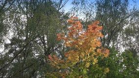 Foglie rosse e gialle luminose di un albero un acero nel giorno soleggiato di autunno stock footage