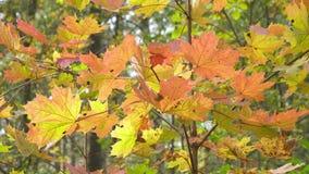 Foglie rosse e gialle luminose di un albero un acero nel giorno soleggiato di autunno video d archivio